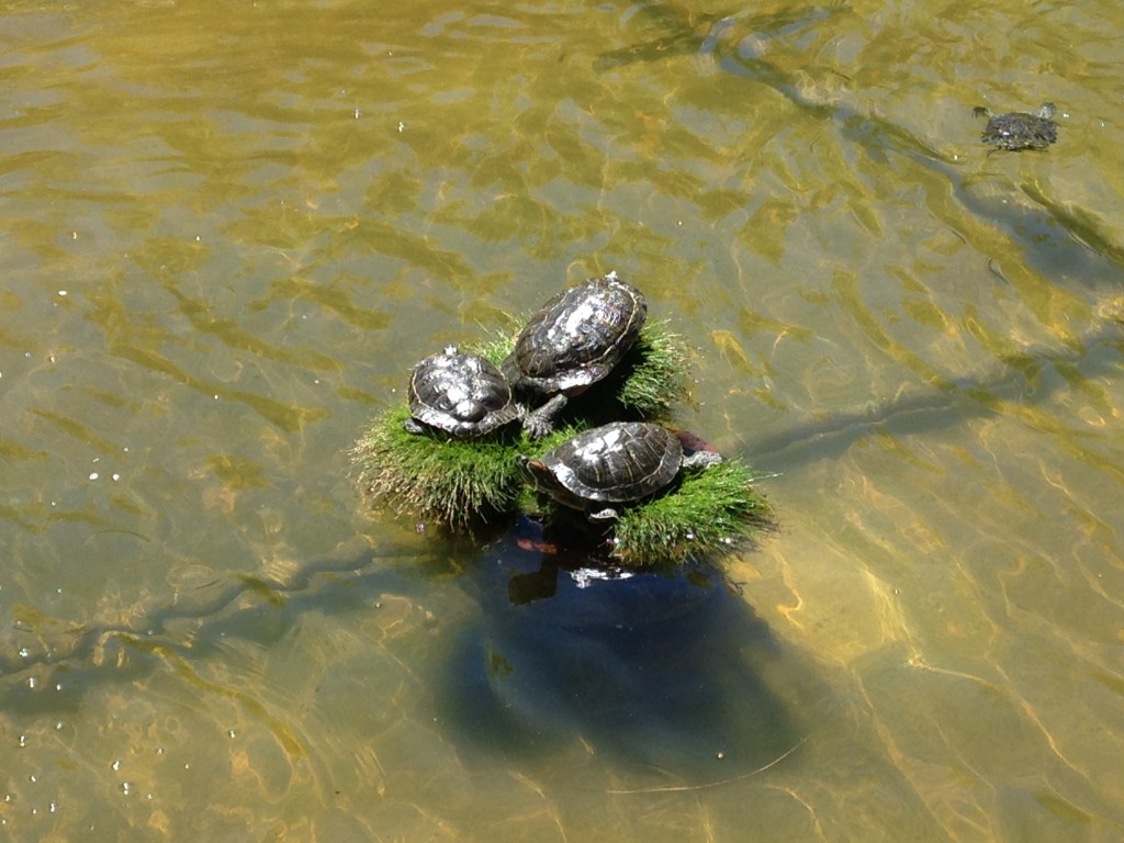 Turtles sun themselves in an artificial pond in the court yard of the PayPal Campus.