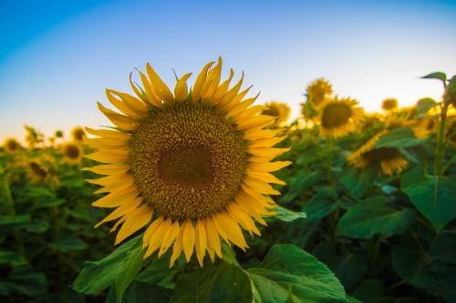 Sunflowers in June-16