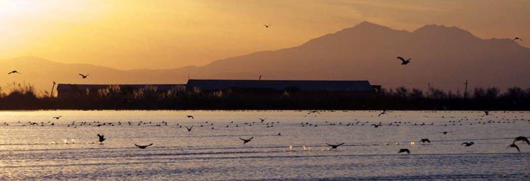 The San Francisco Bay-Delta Estuary supports the largest Pacific Coast fly over stop for migrating waterfowl /Courtesy photo from Restore the Delta
