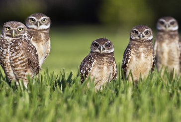 California Burrowing Owls Are Facing Extinction….If We Do Not Act