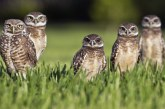 Guest Commentary: Burrowing Owls and Davis Elections