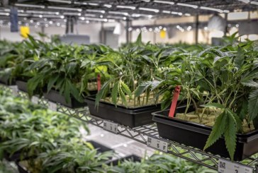 Vanguard Broadcasts Live from Cannabis Nursery, Company Seeks to Move to Yolo County