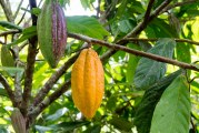 Cacao Research Comes to Downtown Davis