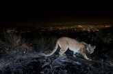 California's Mountain Lions Receive Further Protection