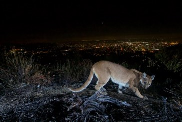 Hope for California's Southern and Central Coast Mountain Lions