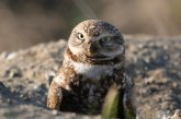 Guest Commentary: Burrowing Owls in Davis Once Found in Many Areas
