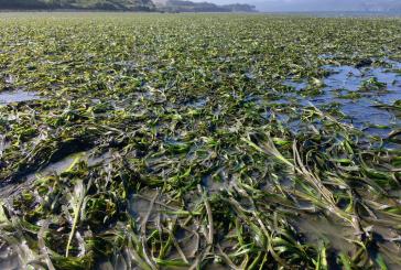 Bodega Marine Laboratory Seminar Highlights Eelgrass Resilience to Ocean Warming