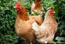 UC Davis' Animal Behavior Graduate Group Presents the Behavioral Biology of Egg-Laying Hens